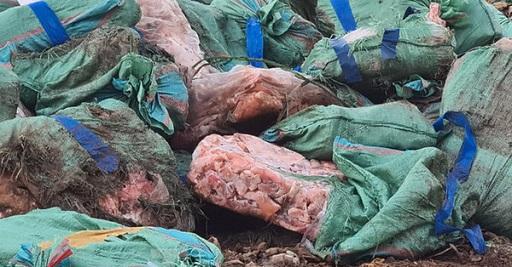 tiêu hủy nội tạng lợn nhiễm bệnh